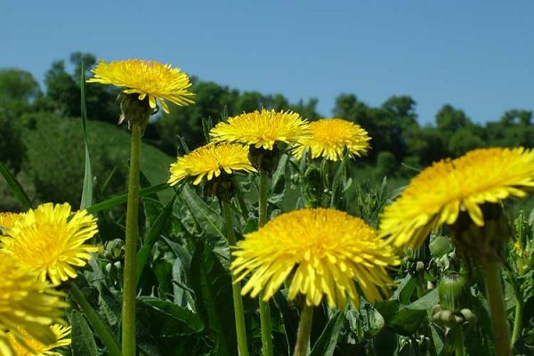 dandelion health benefits big